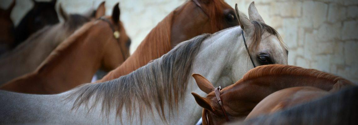 Show Horses Ready
